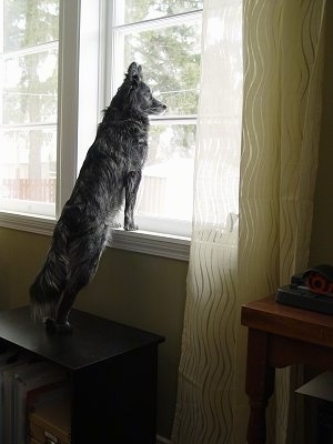 A perk-eared, grey with white Border Collie/Jack Russell Terrier mix is standing on a bookshelf with its front paws up on a white window sill looking out of a window.