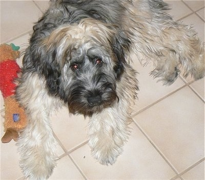 A shaggy tan and black Kerry Wheaten is laying on a tan tiled floor next to its reindeer plush toy.
