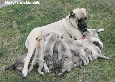 Puppies crowded around and nursing from Sassy the English Mastiff