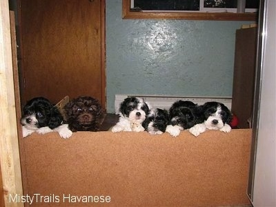 A litter of Havanese Puppies that are standing up against a small wall in front of them.