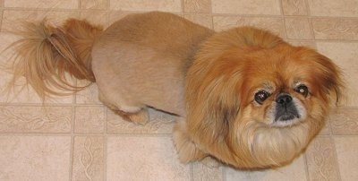 Close up view from the top looking down at the dog - A freshly shaved tan Pekingese is standing across a tan tiled floor looking up. It has longer hair on its tail and around its neck and head making it look like a lion.