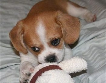 Close up front view - A red and white Puggle puppy is laying on a persons bed and it is chewing a white plush doll in front of it.
