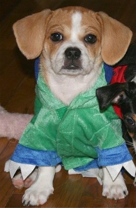 Close up - A red and white Puggle puppy is sitting on a hardwood floor and it is wearing a green jacket. To the right of him is the face of a black with tan and white dog.