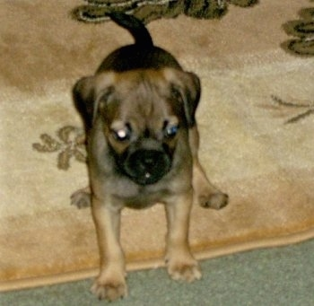 Front view - A silver-fawn Puggle dog is standing on a tan throw rug that is on topn of a green carpet and it is looking forward.