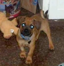 Front side view - A red with black Puggle is standing in a hallway and there are toys behind it. Its tail is curled up over its back.
