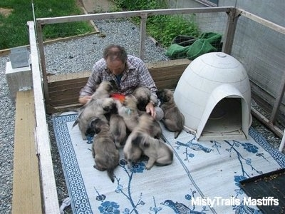 The litter of puppies are climbing all over the man