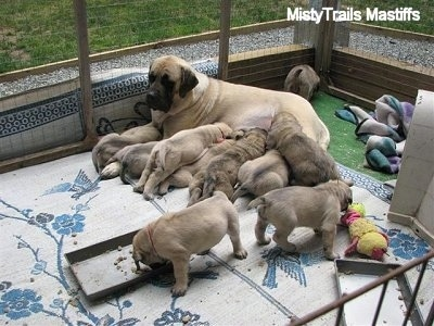 Sassy the English Mastiff outside nursing her puppies