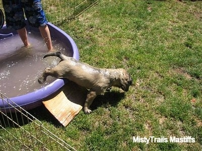 Puppy getting out of a pool