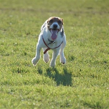 Molly the Jack Russell Terrier running with its tongue out, action shot