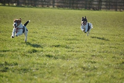 Rusty and Molly the Jack Russell Terriers running around a field, captured in mid air