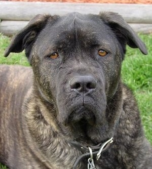 Close up head shot - a black brindle mastiff mix wearing a black leather collar looking straight ahead