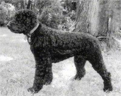 Left Profile - A black and white photo of a Rottle that is standing in grass nex to a large tree and it is looking to the left.