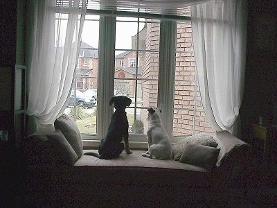 Jedi the Jack Russell and Koda the Shepadoodle looking out the window