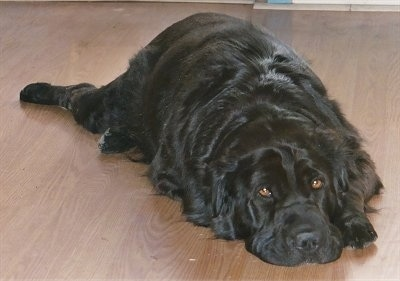 View from the front - A medium haired, shiny-coated, black Shar-Pei/Retriever mix breed dog is laying down on a hardwood floor. The dog has golden brown eyes.