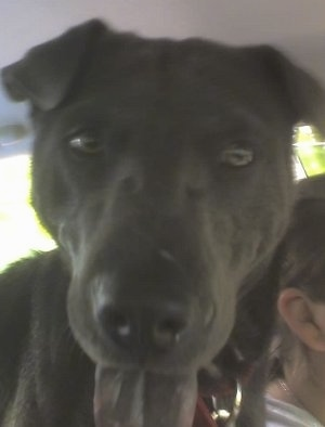 Close up head shot - A black Sharmatian dog is standing in a vehicle and it is looking forward. Its mouth is open and its black tongue is sticking out. The dog has small ears and a big head.
