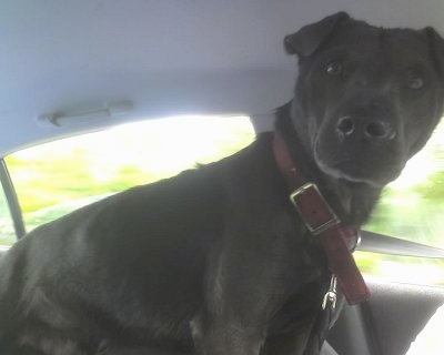 Side view - A shorthaired, black Sharmatian dog standing in the middle of a vehicle and it is looking forward.