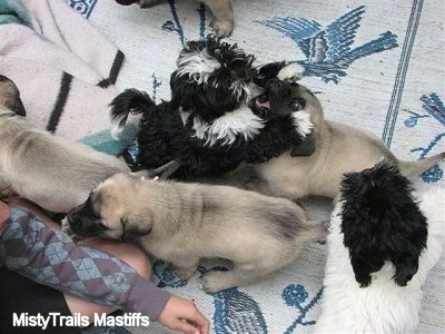 Mastiff pups playing with Havanese puppies