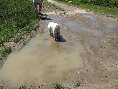 Spike the Bulldog walking through a muddy puddle with a human in front of him