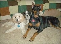 Three dogs, a medium-sized curly white dog, a small black and white dog and a large Doberman Pinscher laying on a tan carpet in front of a couch covered with a blanket