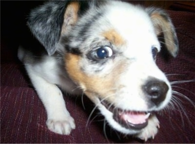 Close Up - Tassle the Texas Heeler Puppy is laying on a bed and looking at the camera holder with a playful face
