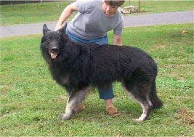 Cole the Shiloh Shepherd before VKH Syndrome Symptoms standing in front of a person on grass