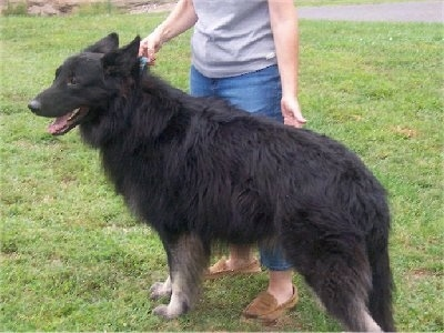 Cole the Shiloh Shepherd before VKH Syndrome Symptoms standing in front of a person on grass from a different angle