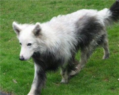 A Dog affected by Vogt-Koyanagi-Harada syndrome (VKH syndrome) running in a yard