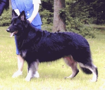 Left Profile - Cole the Shiloh Shepherd before VKH Syndrome Symptoms walking in a yard