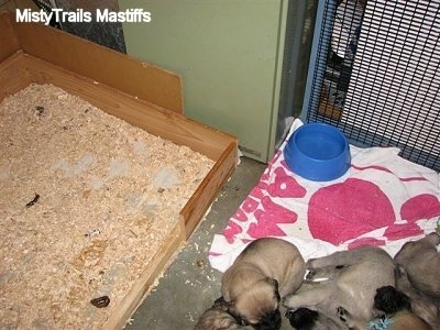 Puppies on a clean towel next to the wood chip potty area