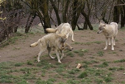 Two Wolves playing and One Wolf watching from the distance