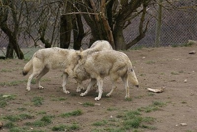 Three Wolves playing
