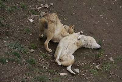 One Wolf laying on its back and Another Wolf is play bowing next to it