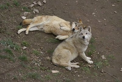 One Wolf laying on its side and another Wolf laying down