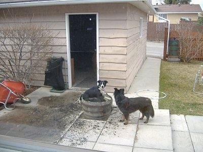 Crash the Border Collie/Lab is sitting in potted dirt and Zoe the Border Collie/Shepherd mix is standing in front of it