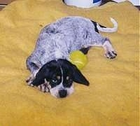 Bluetick Coonhound puppy laying on a yellow blanket next to a tennis ball