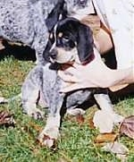 Bluetick Coonhound puppy sitting outside with a persons hand on its neck and chest