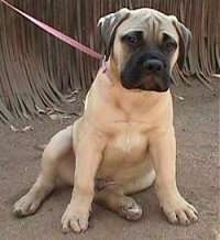 Bullmastiff puppy sitting outside in dirt in front of a fence