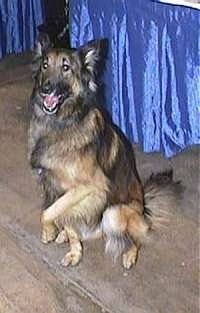 Belgian Tervuren sitting in front of a blue covered table with one paw in the air