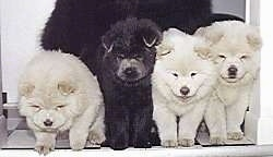 Close up - Three fluffy white and a black Chow Chow puppies are standing in a doorway.