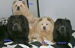 Two Black and Two Tan Chow Chow puppies are laying and sitting on a black and white checkered pattern bed sheet