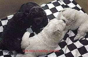 Two vlack and two white Chow Chow puppies are laying on a black and white checkered pattern sheet.