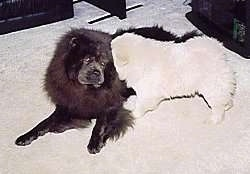 A black Chow Chow is laying on a carpet and a white Chow Chow puppy is running into it head first