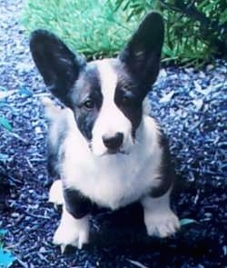Rocky the Cardigan Welsh Corgi Puppy is sitting on wood chips and looking up at the camera holder with grass behind him