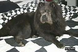 Close up - A black Chow Chow is laying on a checkered blanket and looking to the left. It looks like a black bear.