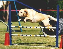 I Feel Lucky the Labrador Retriever is jumping over agility bars in a field