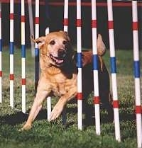 Sunny Waggin's Sierra Sunshine is weaving through white, red and blue agility poles. It has its mouth open.