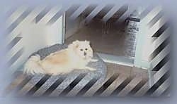 A tan Pomeranian is laying on a dog bed and it is looking forward.