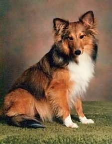 The right side of a brown with black and white Shetland Sheepdog that is standing on a green carpeted surface, it is looking forward and its head is slightly tilted to the left. It has perk ears.