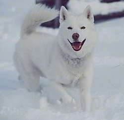 A pure white Siberian Husky is running in snow with its mouth open looking forward and it looks like it is smiling. It has black eyes.