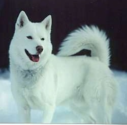 The left side of a pure white Siberian Husky that is standing outside in snow. It is looking to the right, its mouth is open and its tongue is sticking out. Its tail is curled up over its back.